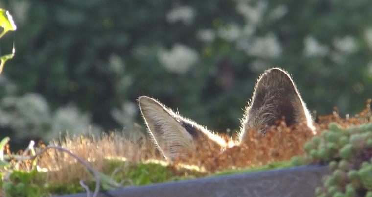 fox_ears1